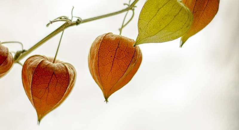 Как вырастить физалис из семян на своем участке?