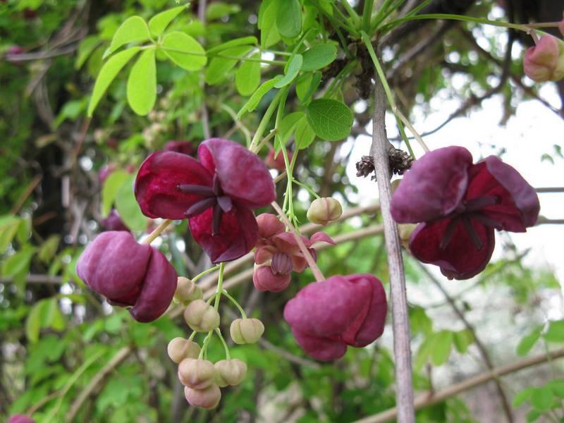 Какие цветы имеют аромат шоколада?