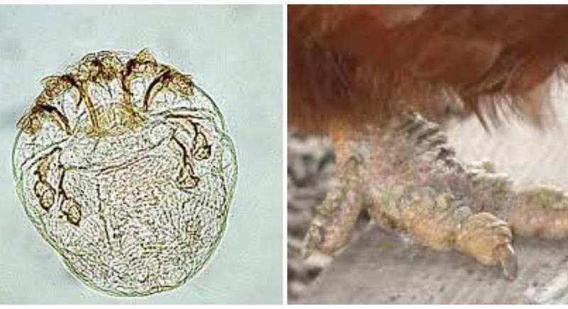 Поширене паразитарне захворювання птахів - кнемідокоптоз: етіологія, патогенез та лікування