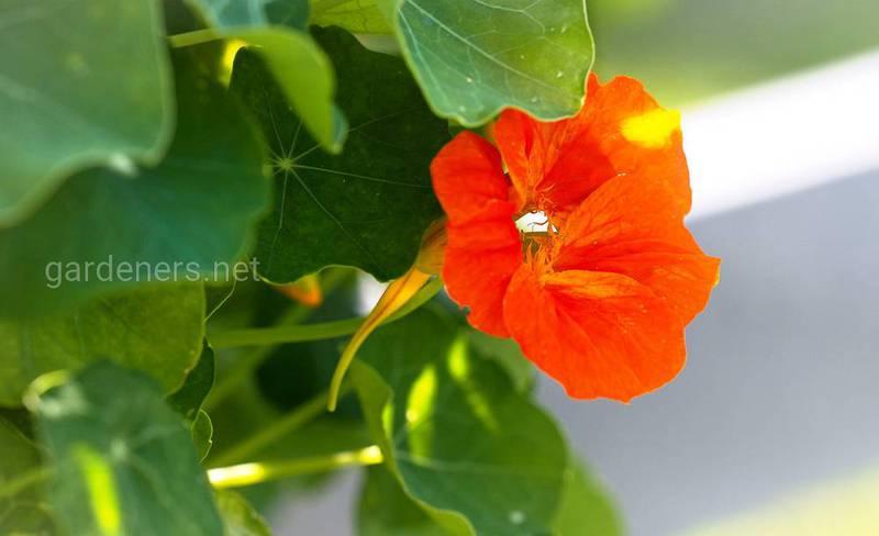 Настурция лекарственная: сеют в сентябре, собирают урожай до весны