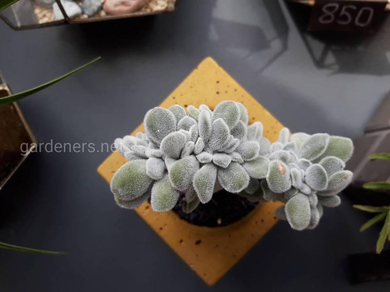 Стійкі сукуленти: декоративні рослини, які ростуть за будь-яких умов