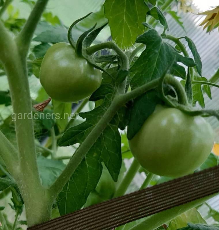 Как ускорить дозревание зеленых помидоров?