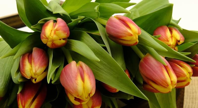Какие бывают тюльпаны. Классификация тюльпанов