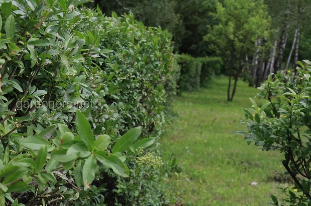 Живая изгородь – это эстетичный и недорогой вид ограждения