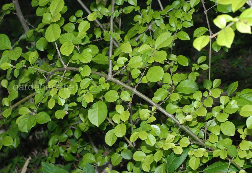 Pisonia aculeata