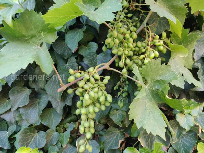 Що посадити під виноградом: корисні та нейтральні сусіди, рослини-антагоністи