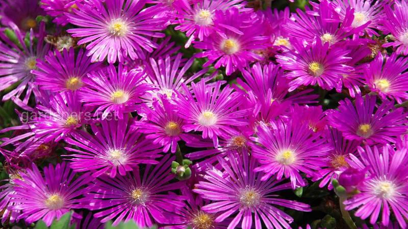 Делосперма Купера - найкрасивіша повзуча рослина!