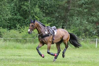 Лошадь Голштинская