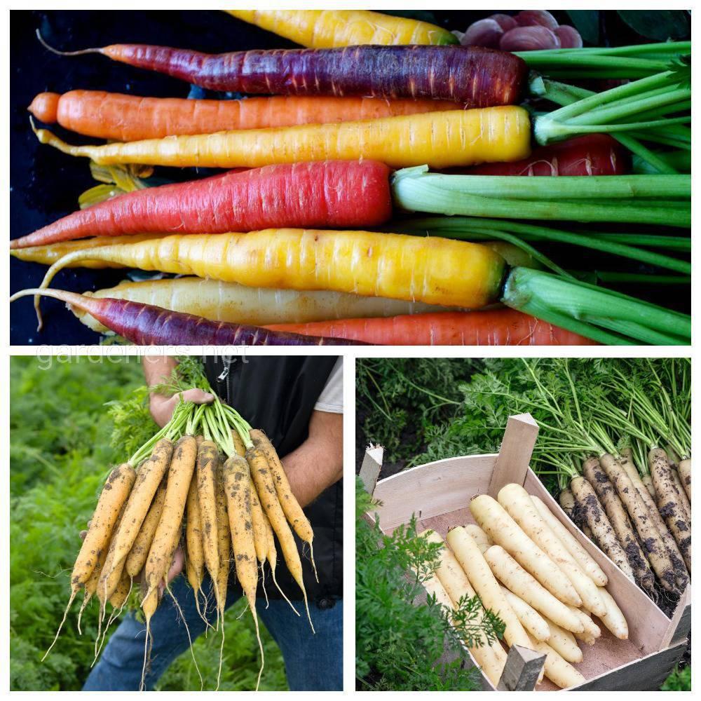 Разноцветная морковка