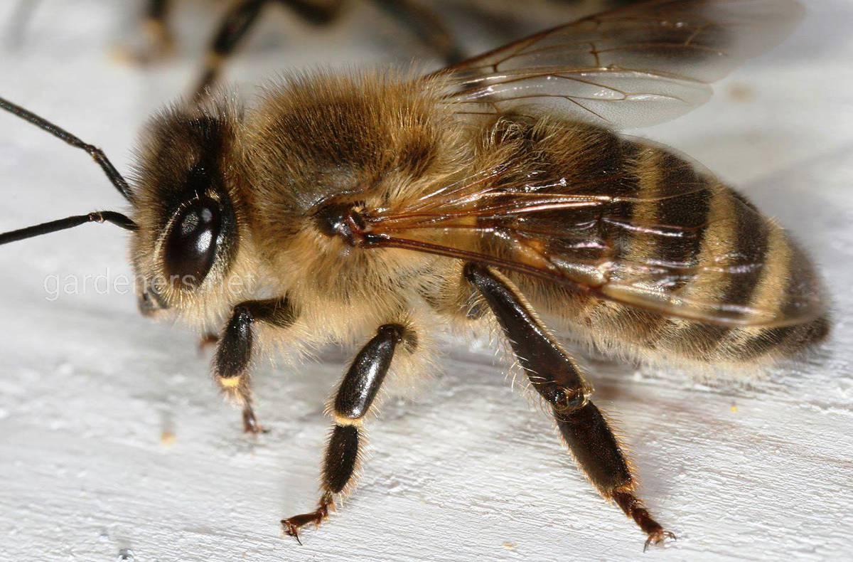Краинская пчела