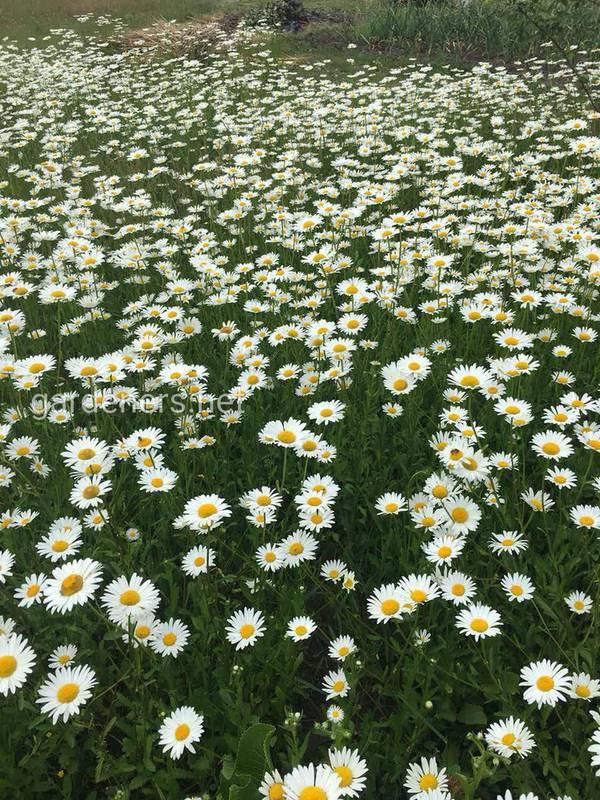 Як польові квіти можуть зменшити використання пестицидів?