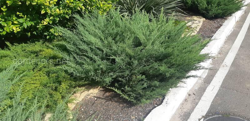Як посадить декоративні дерева та кущі?