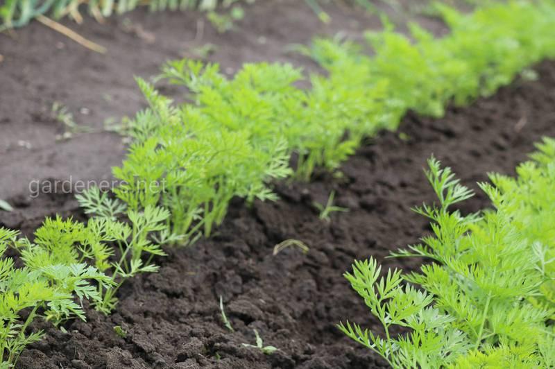Як правильно посадити та доглядати за плантацією моркви?