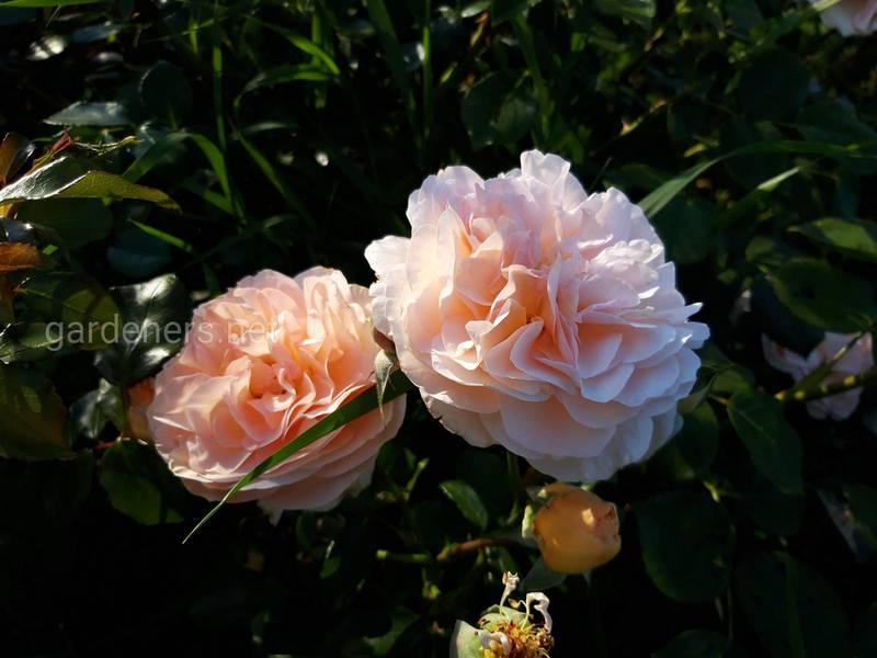 Что необходимо знать про выращивание чайной розы? Какие самые известные виды выделяют?