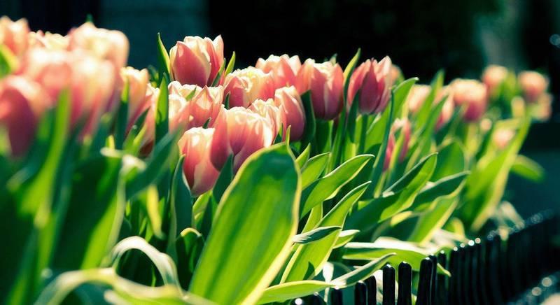 Тюльпаны к Новому Году
