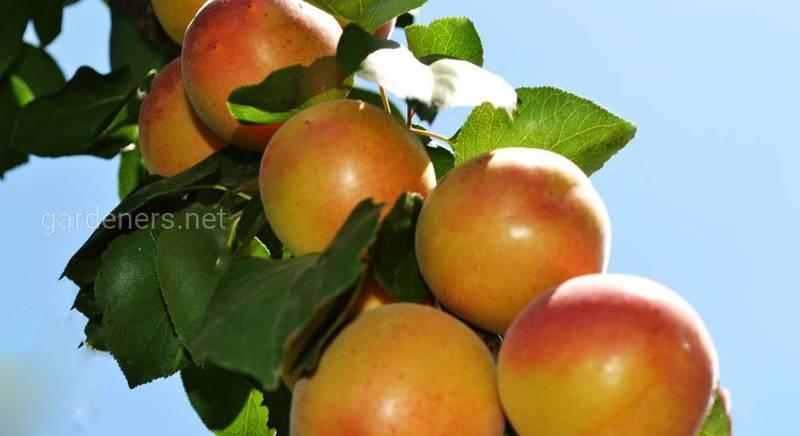 колонновидыне абрикосы.jpg