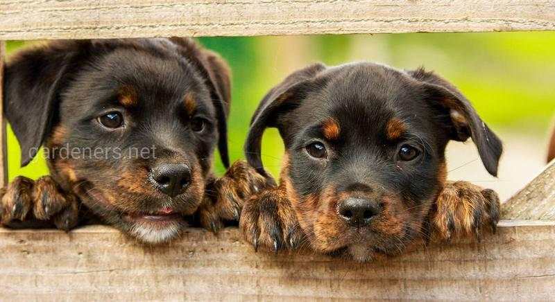 Выбираем породу собаки для дачи и дома