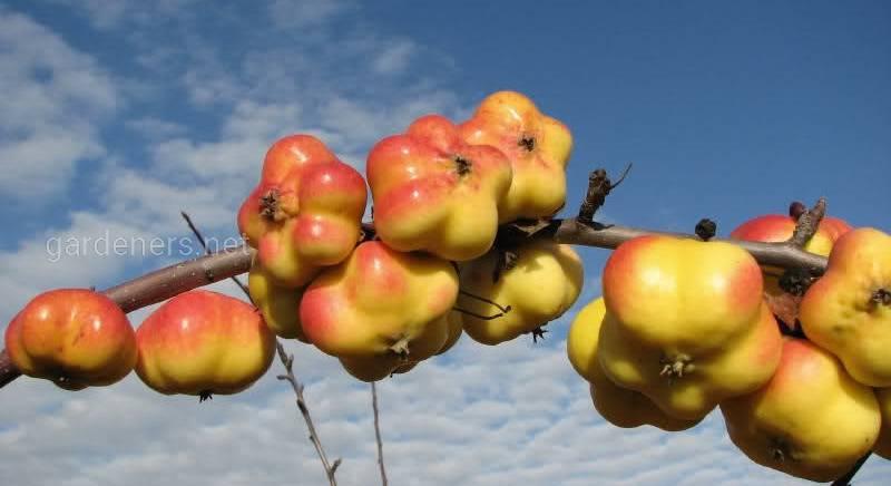 Апистар (Apistar) - необычный и декоративный сорт яблок!