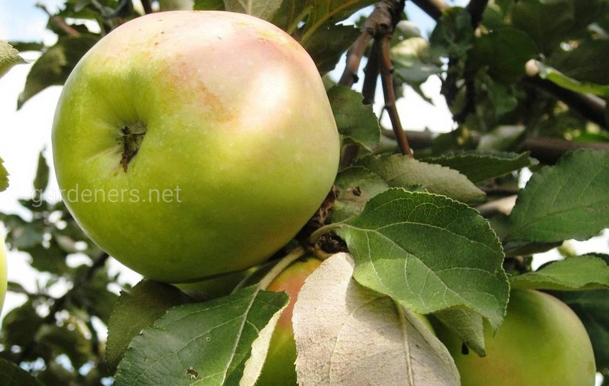 Сорт яблок «Славянка»