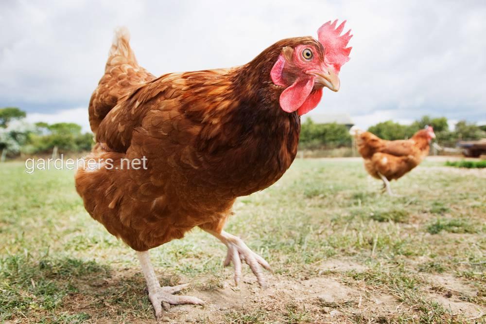 Куриный помет в качестве удобрения
