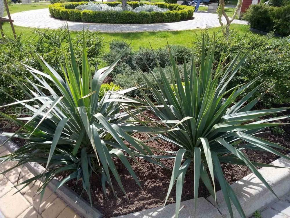 Юкка садовая относится к семейству агавовые.