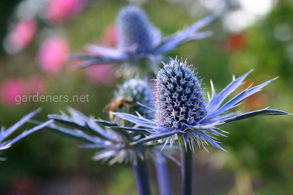 Садимо синьоголовник у відкритий ґрунт