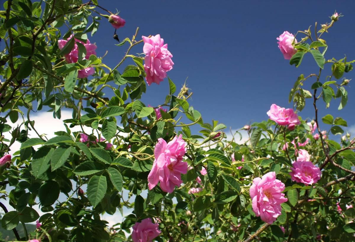 эфирное масло из дамасской розы