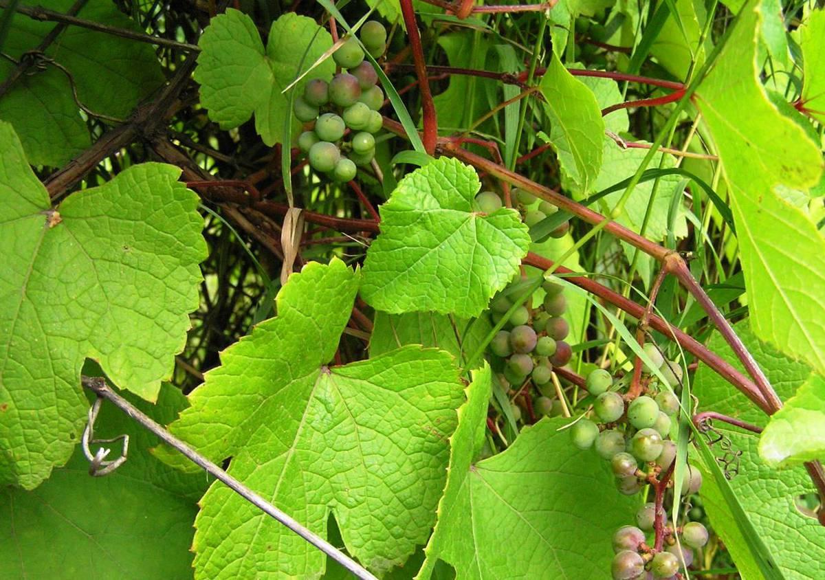 Виноград амурский