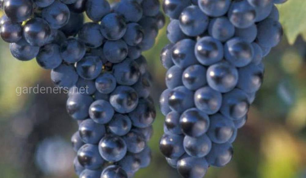 сорт винограда Маркет