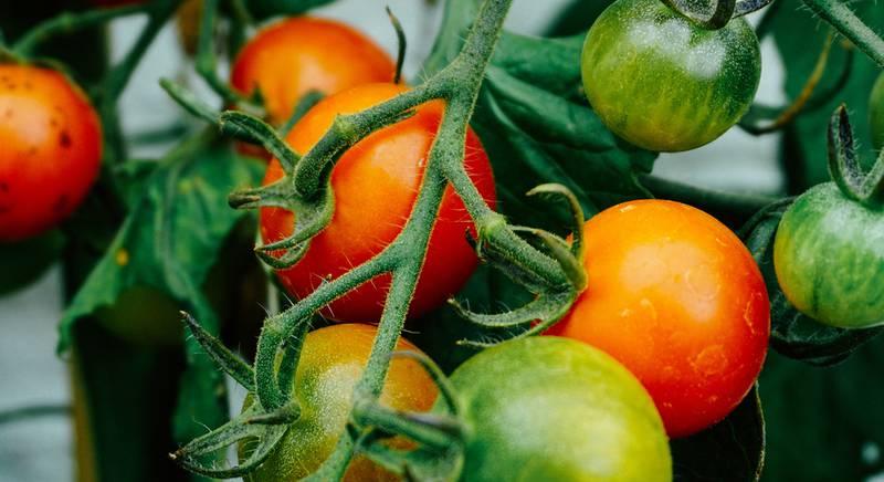Выращивание томатов в теплице. Уход за растением
