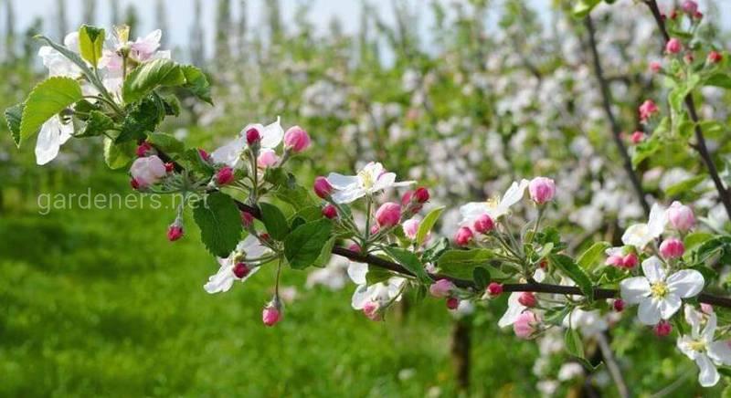 Захист яблуні від небезпечних шкідників