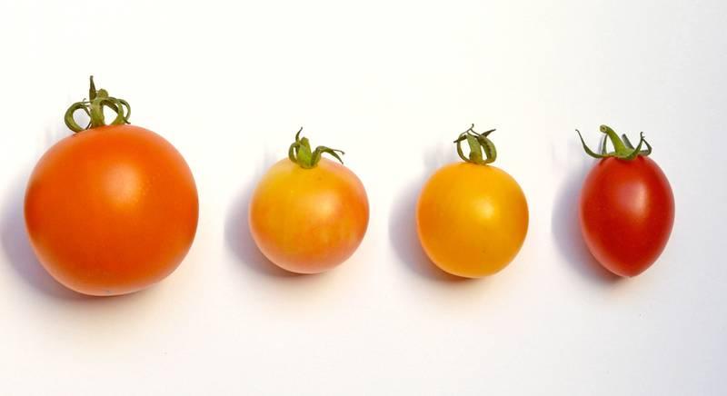 ТОП 5 лучших крупных томатов оригинального цвета
