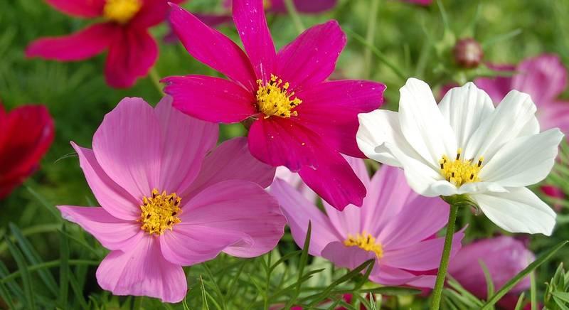 Однолетние цветы: правила создания красивого цветника