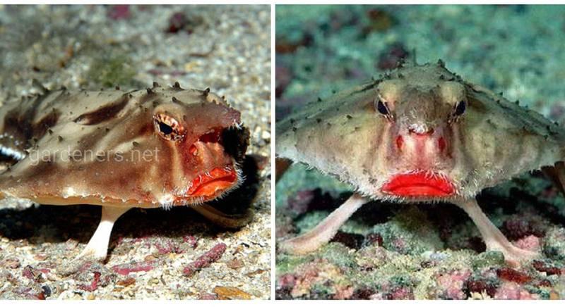 Рыба, которая разучилась плавать, зато обладает завидными губами