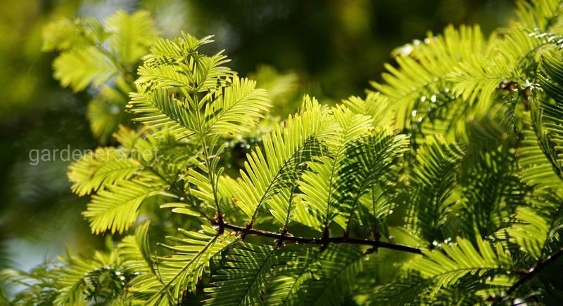 Тис: как вырастить декоративное растение на своем участке