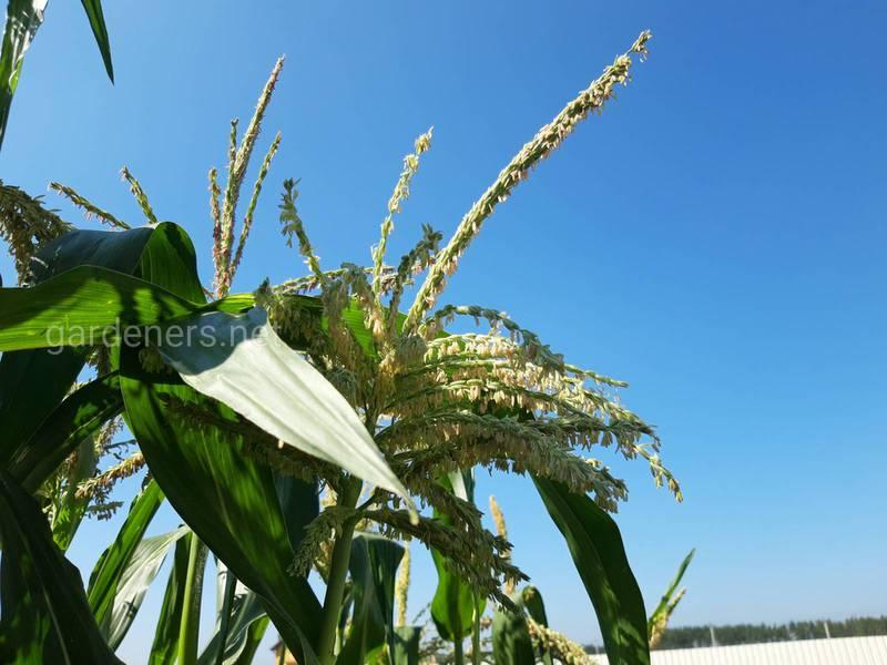 Органічна кукурудза - Посів та Боротьба з бур'янами