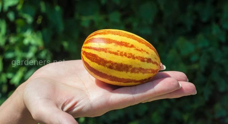 Миниатюрная бахчевая дыня: как выглядит, насколько урожайна и чем отличается от классических родственниц