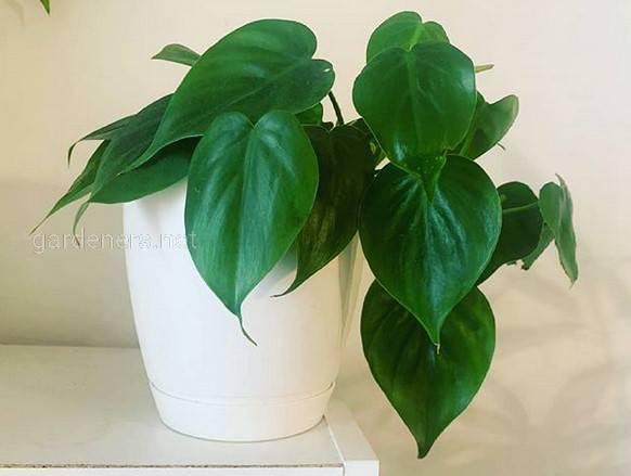 Филодендрон с зелено-розовыми листьями - растение, которое завоюет вашу любовь