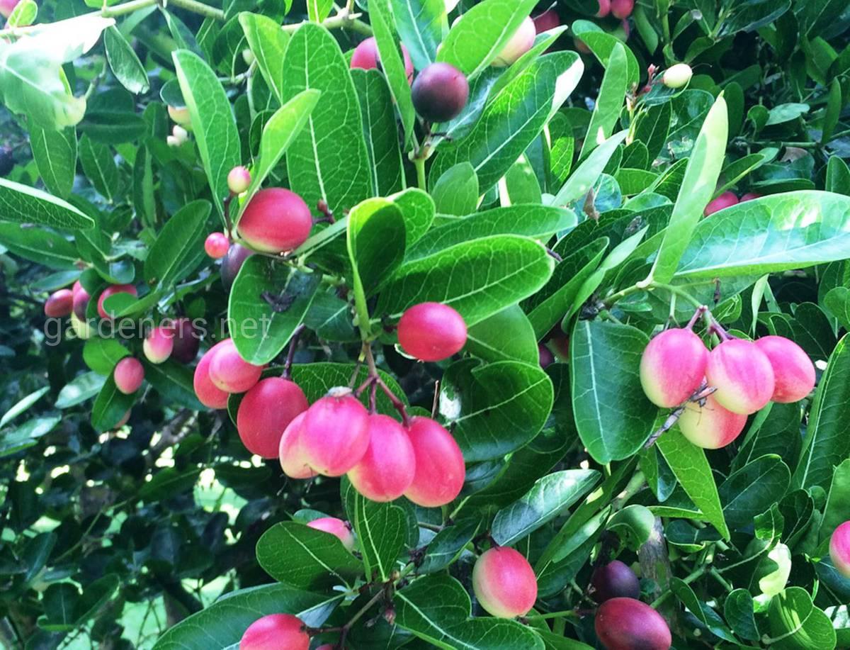 плоды кариссы