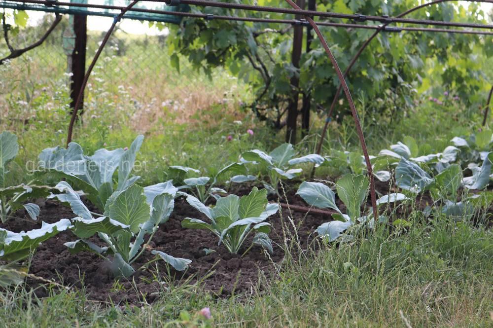 Приготовление бордоської суміші для захисту овочів
