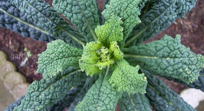 Капуста Cavolo Nero – листовая тосканская капуста