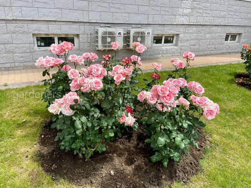 Какие особенности кустарниковых роз? Какие сорта привлекают особое внимание?