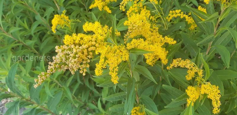 Золотарник - растение, которое защищает почки и мочевыводящие пути