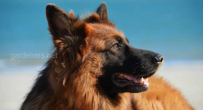 Чотири лапи в дії: робочі собаки і їх використання