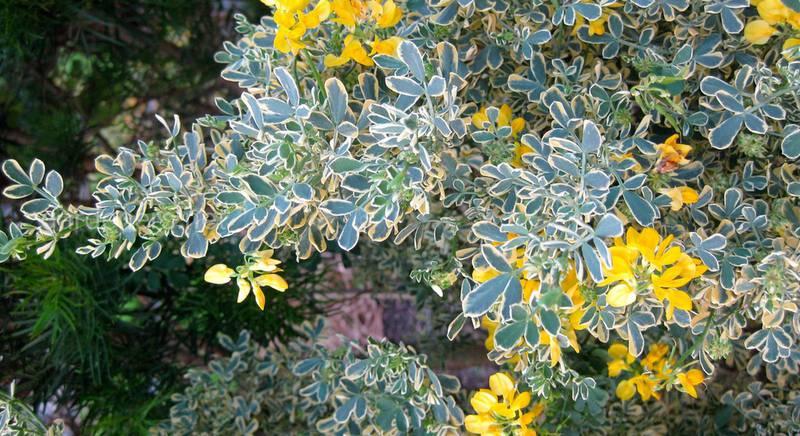 Вязель - сорняк или декоративное растение. Виды и сорта