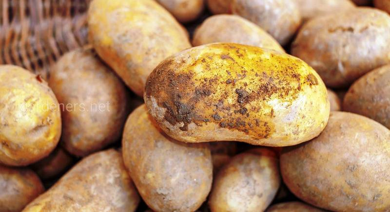 Картофель под пленкой.jpg