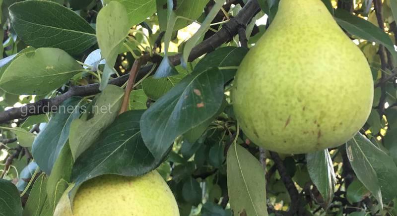 дерево с грушами.JPG