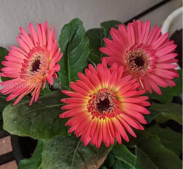 Гербера -  цветущее горшковое растение, которое очень легко выращивать