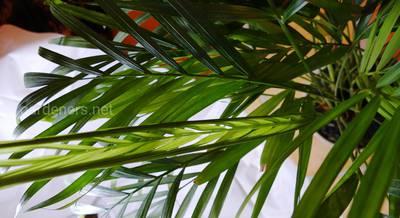 Хризалидокарпус – милая веерная пальма. Как ее нужно пересаживать, поливать и защищать от болезней
