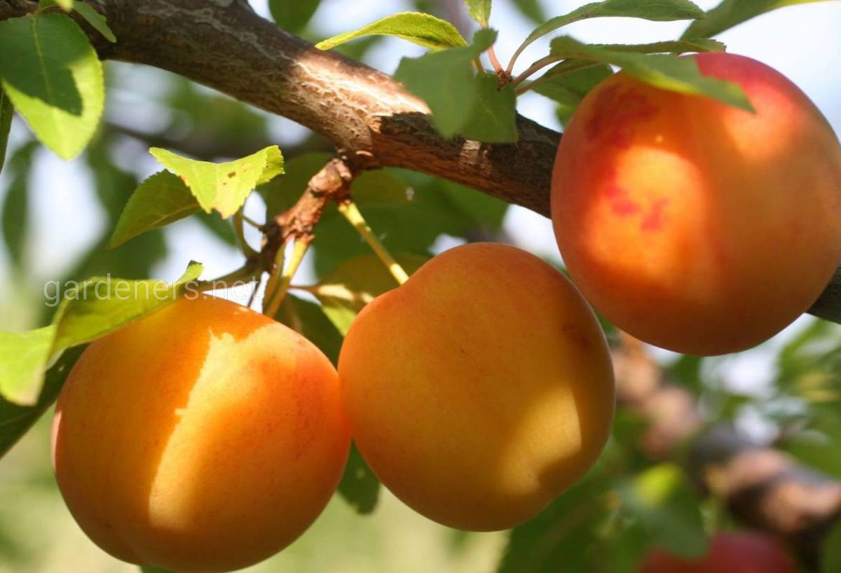 Сорт абрикос Графиня